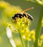 Avispa en la flor amarilla en naturaleza Imágenes de archivo libres de regalías