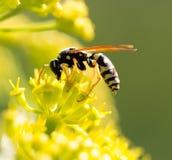 Avispa en la flor amarilla en naturaleza Fotografía de archivo