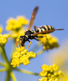 Avispa en la flor amarilla en naturaleza Imagenes de archivo