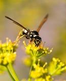 Avispa en la flor amarilla en naturaleza Foto de archivo