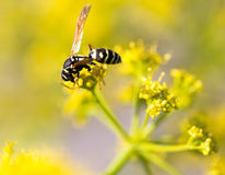 Avispa en la flor amarilla en naturaleza Fotos de archivo libres de regalías