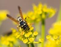 Avispa en la flor amarilla en naturaleza Imagen de archivo