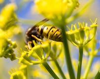 Avispa en la flor amarilla en naturaleza Foto de archivo libre de regalías