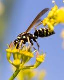 Avispa en la flor amarilla en naturaleza Fotografía de archivo libre de regalías