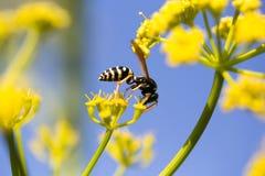 Avispa en la flor amarilla en naturaleza Imagen de archivo libre de regalías