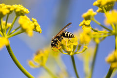 Avispa en la flor amarilla en naturaleza Fotos de archivo