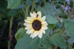 Avispa en la flor amarilla en vista delantera de la hoja del verde de la naturaleza en jardín Imagen de archivo