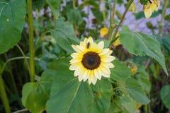 Avispa en la flor amarilla en vista delantera de la hoja del verde de la naturaleza en jardín Imágenes de archivo libres de regalías