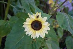 Avispa en la flor amarilla en vista delantera de la hoja del verde de la naturaleza en jardín Fotografía de archivo