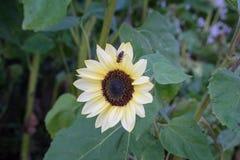 Avispa en la flor amarilla en vista delantera de la hoja del verde de la naturaleza en jardín Fotos de archivo libres de regalías