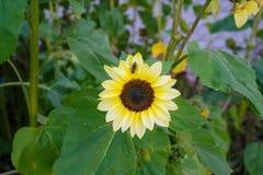 Avispa en la flor amarilla en vista delantera de la hoja del verde de la naturaleza en jardín Imagenes de archivo