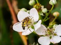 Avispa en la flor blanca Fotos de archivo