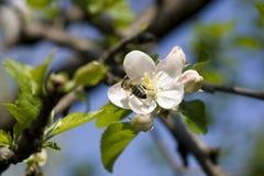 Avispa en la flor de la cereza Imágenes de archivo libres de regalías