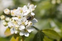 Avispa en la flor de la cereza Foto de archivo libre de regalías