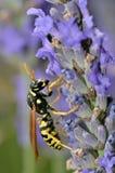 Avispa en la flor de la lavanda Foto de archivo libre de regalías
