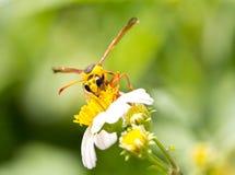 Avispa en la flor de la manzanilla Fotos de archivo