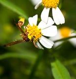 Avispa en la flor de la manzanilla Imágenes de archivo libres de regalías