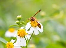 Avispa en la flor de la manzanilla Fotografía de archivo