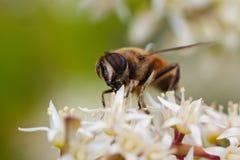 Avispa en la flor del sweetspire Imagen de archivo