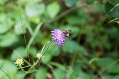 Avispa en la flor púrpura Imágenes de archivo libres de regalías