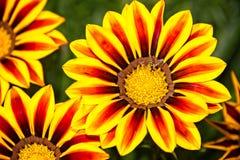 Avispa en las flores amarillas y anaranjadas Imagenes de archivo
