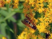 Avispa en las flores del prado Foto de archivo