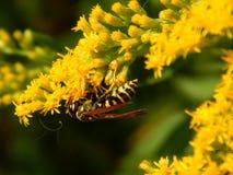 Avispa en las flores del prado Foto de archivo libre de regalías