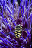 Avispa en macro de la flor Fotografía de archivo