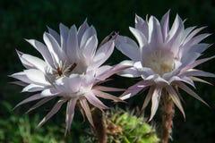 Avispa en un cactus de la flor Imagenes de archivo
