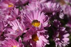 Avispa en un crisantemo rosado Fotografía de archivo