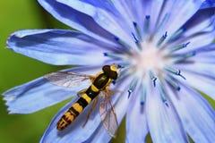 Avispa en una flor Fotografía de archivo libre de regalías