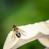 Avispa en una flor Foto de archivo