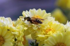 Avispa en una flor amarilla fotos de archivo