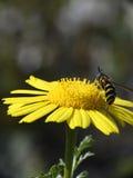 Avispa en una flor amarilla Foto de archivo