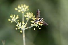 Avispa en una flor amarilla Imagen de archivo libre de regalías