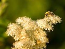 Avispa en una flor polvorienta Fotos de archivo libres de regalías