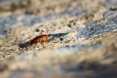 Avispa esmeralda de la cucaracha Foto de archivo