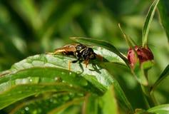 Avispa Este insecto sabe que tiene pocos enemigos peligrosos Foto de archivo