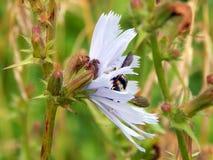 Avispa grande en una flor de la achicoria Foto de archivo