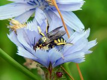 Avispa grande en una flor de la achicoria Imagenes de archivo