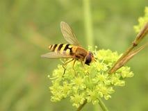 Avispa macra de la fotografía de los insectos de la naturaleza Foto de archivo