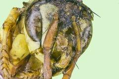 Avispa macra extrema de la chaqueta amarilla Fotografía de archivo libre de regalías