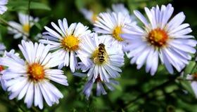 Avispa magnífica contra la perspectiva de las flores hermosas imagen de archivo