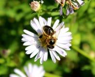 Avispa magnífica y flores hermosas contra la perspectiva de la hierba Imagen de archivo libre de regalías