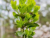 Avispa marrón y negra grande en la planta verde Fotografía de archivo libre de regalías
