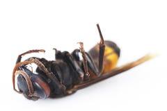 Avispa muerta aislada en un blanco Imagen de archivo libre de regalías