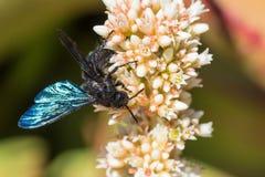 Avispa negra en la flor blanca Fotografía de archivo libre de regalías