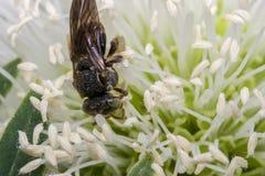 Avispa negra en una flor Imágenes de archivo libres de regalías
