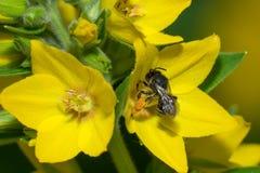 Avispa negra en una flor amarilla Fotos de archivo libres de regalías
