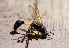 Avispa negra muerta en superficie de madera Fotografía de archivo libre de regalías